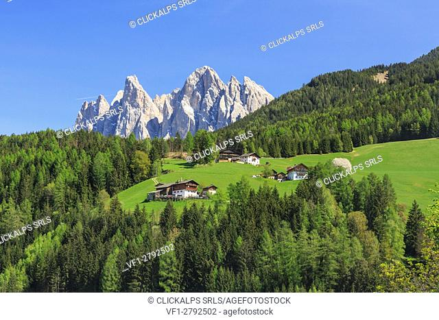 The Odle in background enhanced by green woods Funes Valley. South Tyrol Dolomites Italy Europe