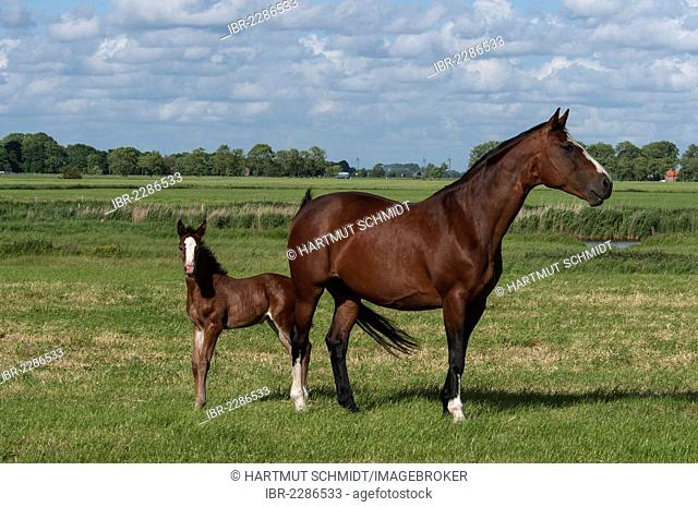 Bay mare with a foal on a pasture, East Frisia, Lower Saxony, Germany, Europe