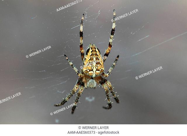 Garden Spider ( Araneus diadematus)