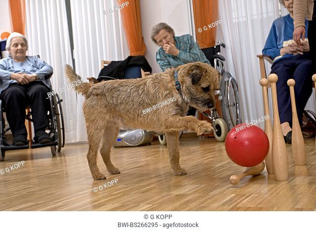 mixed breed dog Canis lupus f. familiaris, playing with old ladies and a rubber ball in the common room of a retirement home