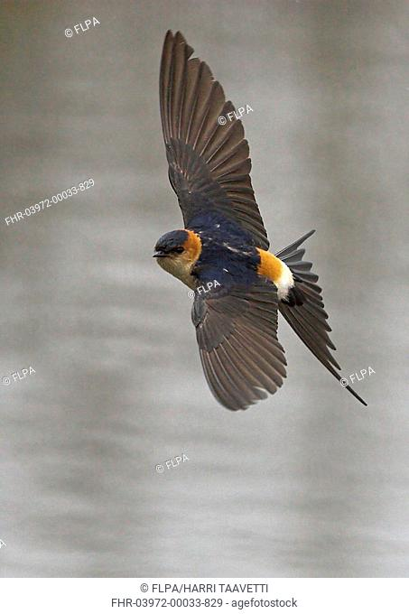 Red-rumped Swallow Hirundo daurica adult, vagrant, in flight, Liminka, Finland, may