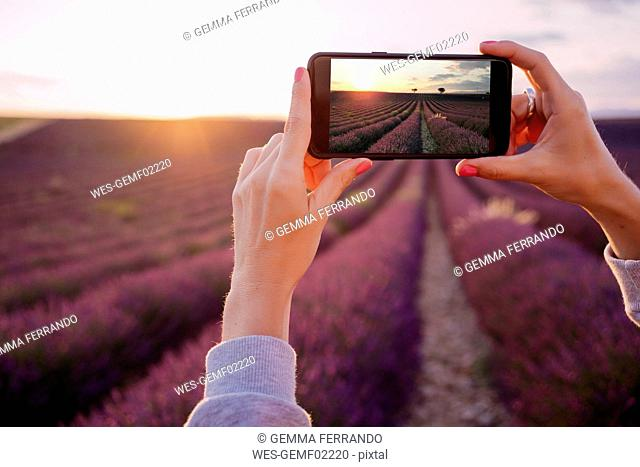 France, Valensole, woman's hands taking photo of lavender field at sunset