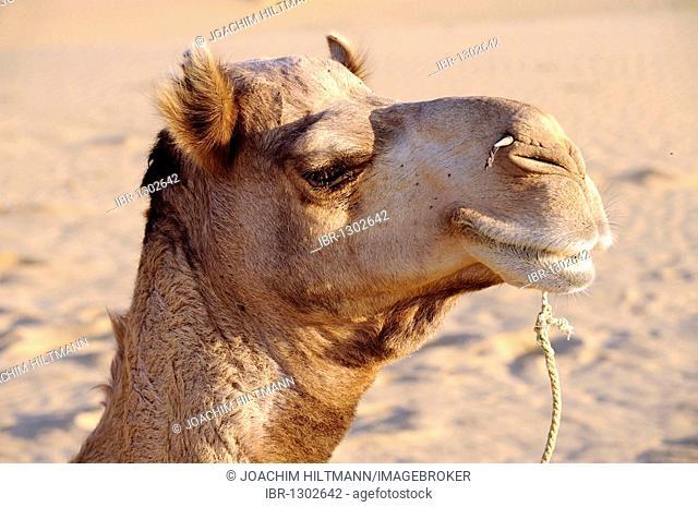 Portrait of a Dromedary (Camelus dromedarius) in the Thar desert near Jaisalmer, Rajasthan, North India, India, South Asia, Asia