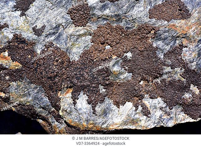 Lecidea atrobrunnea is a crustose lichen that grows on siliceous rocks. This photo was taken in Sierra Nevada National Park, Granada province, Andalucia, Spain