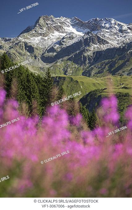 Willowherb (epilobium) blooming framing Suretta Group, located between Italy (Sondrio province, Lombardy, Italy, Europe) and Switzerland (Hinterrhein district