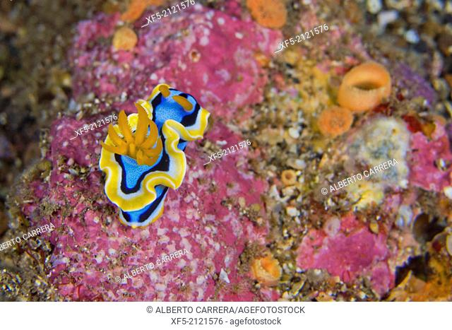 Sea Slug, Dorid Nudibranch, Elisabeth's Chromodoris, Chromodoris elisabethina, Lembeh, North Sulawesi, Indonesia, Asia