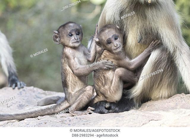 India, Rajasthan, Ranthambore National Park, Northern plains gray langur or Hanuman Langur (Semnopithecus entellus), mother and baby