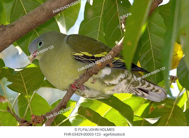 Thick-billed Green-pigeon Treron curvirostra Resting in fig tree - New Territories, Hong Kong, China
