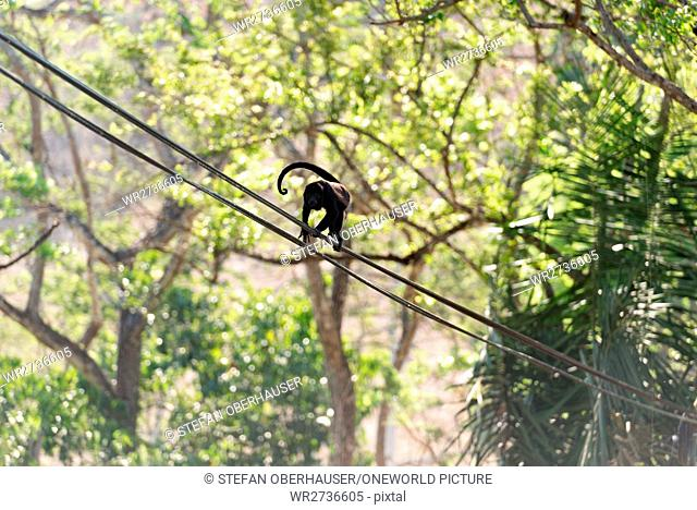 Costa Rica, Guanacaste, Injured howler monkey runs over a power line, Injured howler monkey (Alouatta), a primate genus from the family of the atelids...