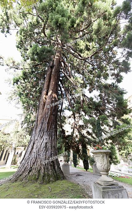 The sequoia of the garden of the Palacio of Navarra in Pamplona, Spain