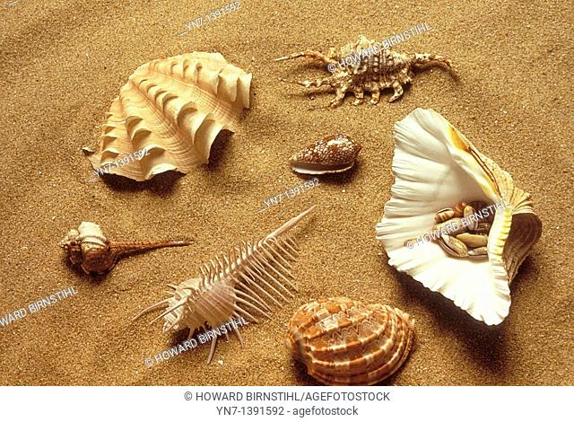Range of univallve shell types lying on the sand at the beach including simple conch, spider conch, cone, pecten scallop, helmet and spindle