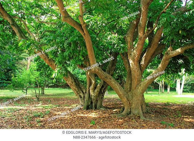 Trees, Botanical Garden, Caracas, Venezuela
