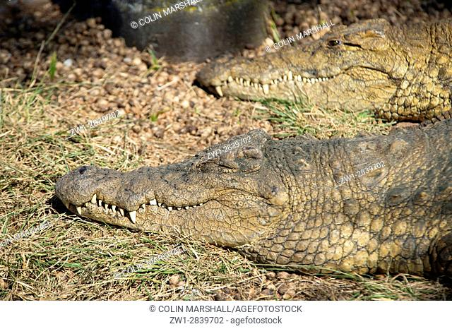 Pair of Nile Crocodiles (Crocodylus niloticus), Agatha Crocodile Ranch, Agatha, Tzaneen district, Limpopo province, South Africa