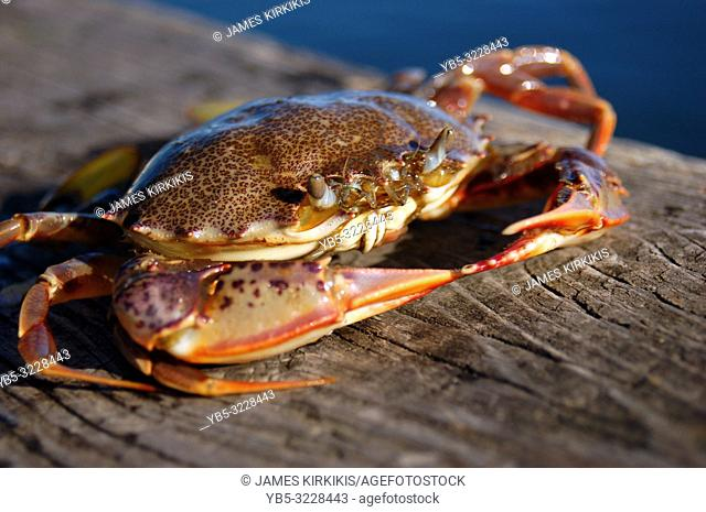 A crab suns himself on a pier