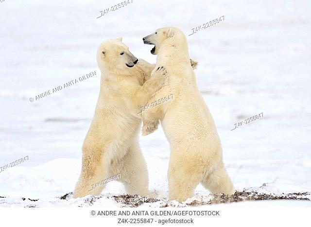 Polar bear (Ursus maritimus) play fighting