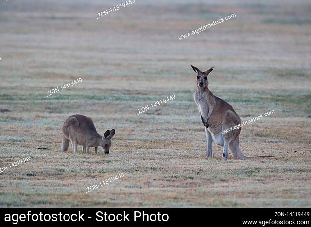 eastern grey kangaroo (Macropus giganteus) in the morning at the food intake , Queensland , Australia