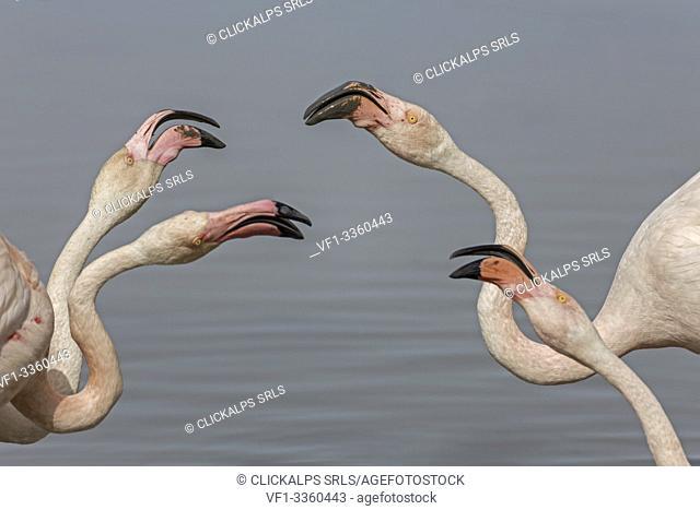Camargue, Provence, France, Europe. Flamingos of Camargue