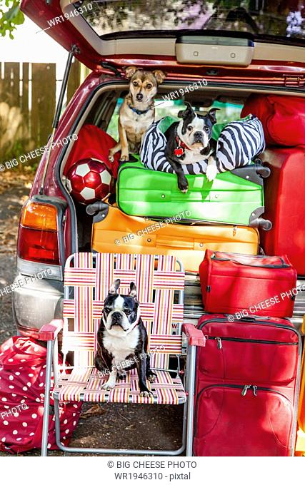 Dogs sit atop luggage piled into a packed car