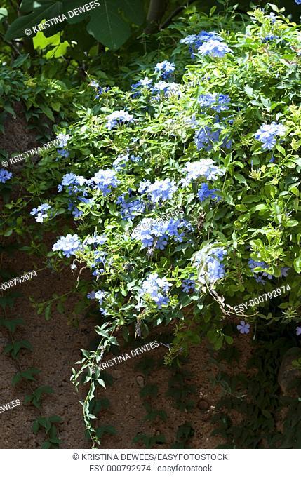 A blue Plumbago vine cascading down a wall in Texas