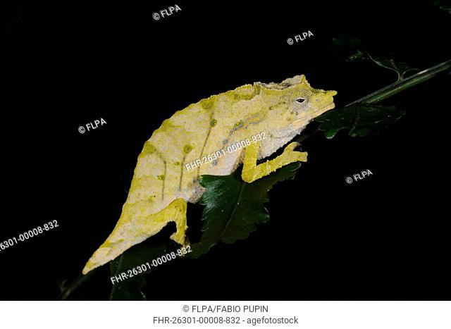 Boulengers Pygmy Chameleon Rhampholeon boulengeri adult, sleeping on leaf, typical pale colour at night, in montane rainforest, Nyungwe Forest N P , Rwanda