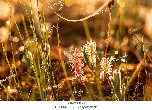 A beautiful closeup of a great sundew leaves in a morning light. Carnivorous plant in marsh. A vibrant macro photo