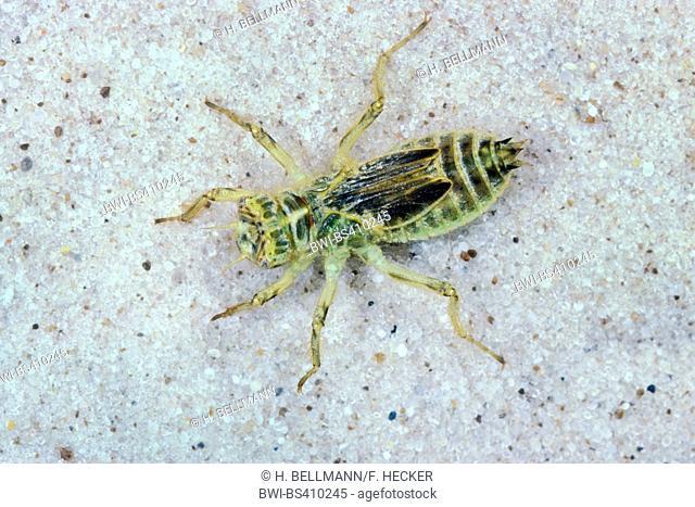 southern European skimmer (Orthetrum brunneum), aquatic larva, Germany