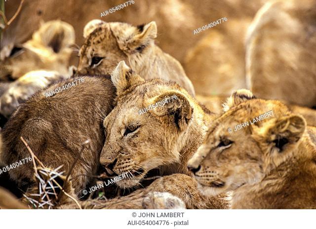 africa, lion pride