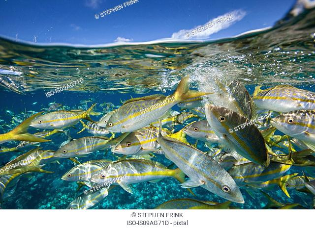Parade of Yellowtail snapper