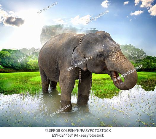 Elephant in a pond near mountain of Sigiriya