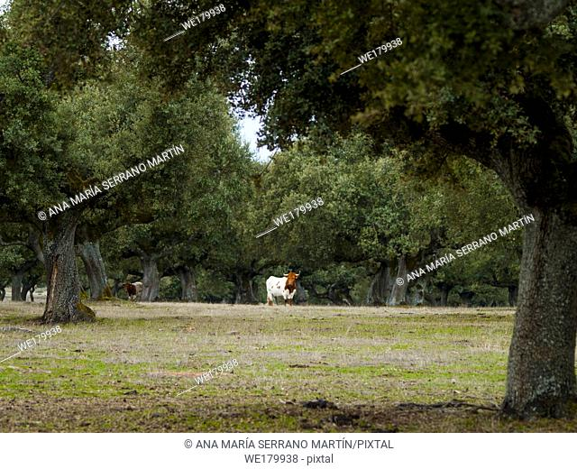 Cows grazing in the dehesa in Salamanca (Spain). Ecological extensive livestock concept