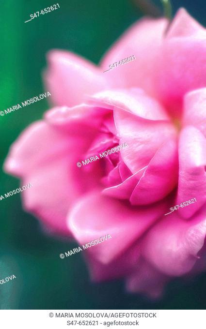 Pink Rose Close-up. Rosa hybrid. May 2006, Maryland, USA