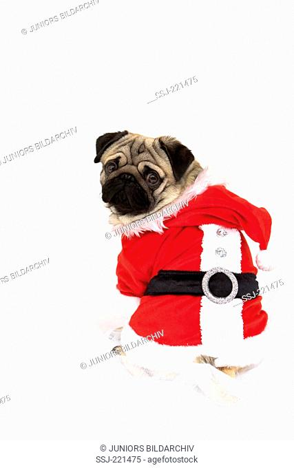 Pug. Adult male wearing Santa Claus costume, sitting. Studio picture against a white background