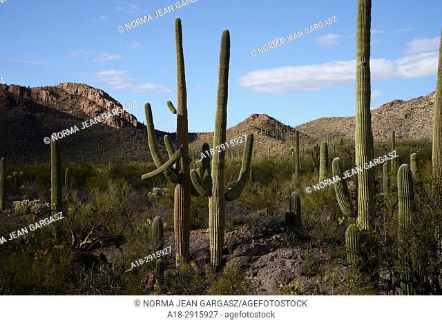 Saguaro cactus, Carnegiea gigantea, grow in the Sonoran Desert, Tucson Mountain Park, Tucson, Arizona, USA