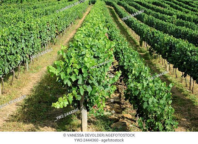 Vineyard in France near the village Salymes, Ardèche, Rhône-Alpes, Europe