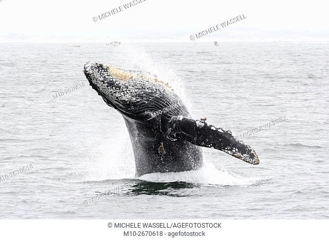 Humpback whale breaching in Monterey, California