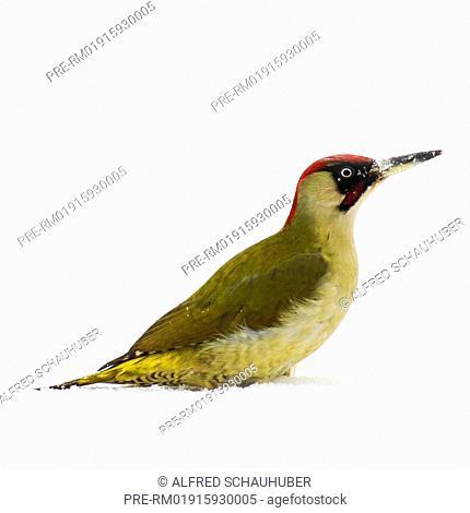 Green woodpecker in winter, Picus viridis, Austria, Europe / Grünspecht im Winter, Picus viridis, Österreich, Europa, Europa