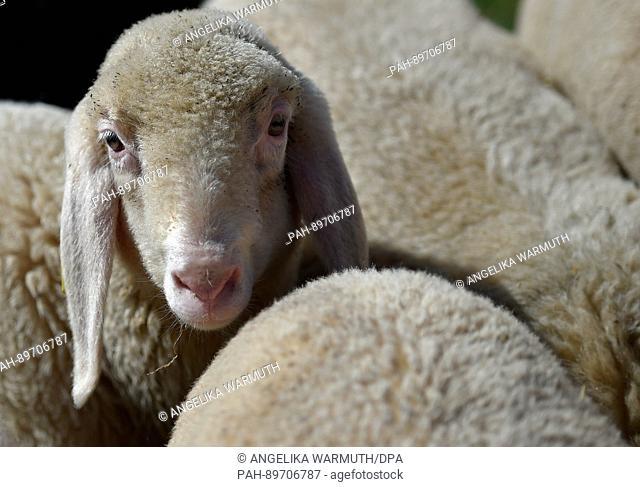 Sheep enjoy the sun on a meadow in Grainau, Germany, 8 April 2017. Photo: Angelika Warmuth/dpa | usage worldwide. - Grainau/Bavaria/Germany