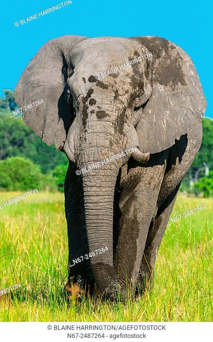 Elephant, near Kwara Camp, Okavango Delta, Botswana
