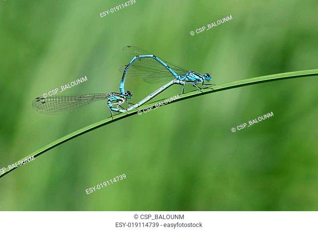 Common Blue Damselfly Mating