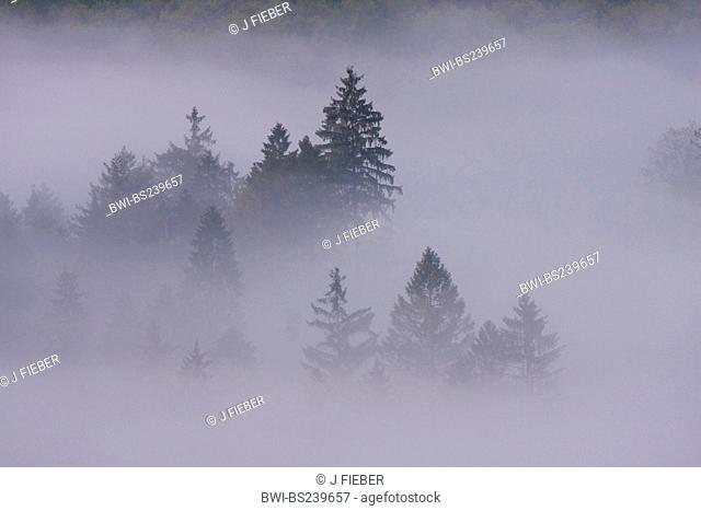 Norway spruce Picea abies, spruce forest in thick fog, Germany, Rhineland-Palatinate