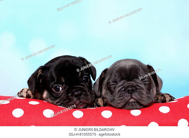 French Bulldog. Two puppies lying on red pillow with white polka dots, one of them sleeping. Studio picture against a blue background. Germany