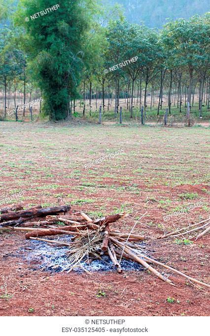 Rubber tree - Hevea brasiliensis (A. Juss.) Muell. Arg., plantation in northeastern Thailand