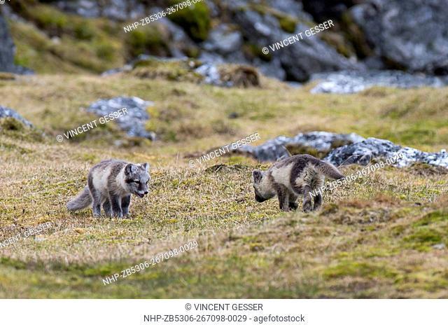 Arctic fox (Vulpes lagopus) cubs playing, Spitzbergen, Svalbard, 1