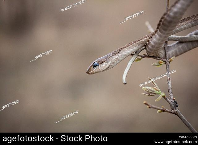 A Boomslang, Dispholidus typus, watches out from a tree