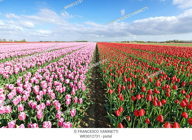 Pink and red tulips in vast field, Yersekendam, Zeeland province, Netherlands, Europe