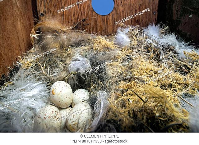 Abandoned clutch of eggs of Eurasian blue tit (Cyanistes caeruleus) in nest box / nestbox in spring