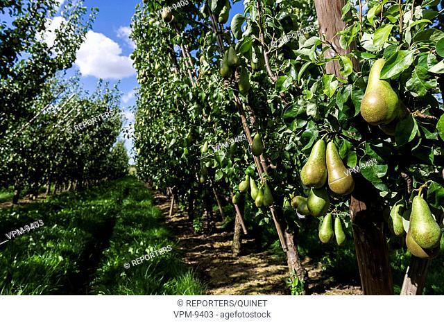 Ernage - 20 august 2016 Peren in een boomgaard Pears in an orchard Poires dans un verger Credit: JMQuinet/Reporters Reporters / QUINET