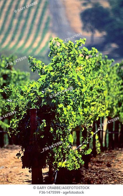 Vineyards, near Lower Lake, Clear Lake, Lake County, California