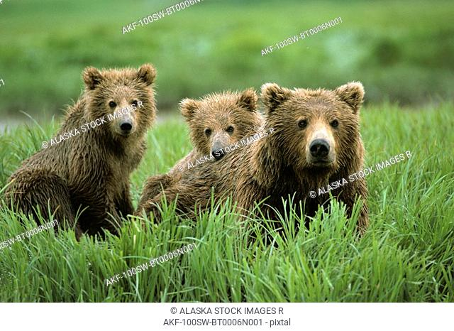 Brown Bear Sow & Cubs McNeil River Area SW Alaska Summer