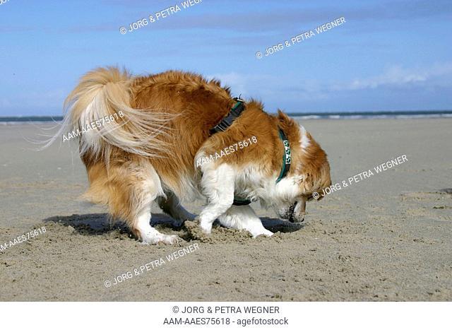 Mixed Breed Dog digging at beach